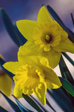 Daffodils. Springtime flowers blooming; daffodils in sunlight Stock Photography