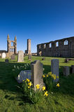 Daffodils in St Andrews cathedral grounds Stock Photos