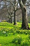 Daffodils in St. James's Park Stock Photography