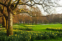 Daffodils in St. James's Park Royalty Free Stock Images