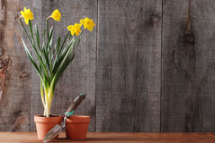 Daffodils still life Royalty Free Stock Images