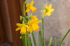 Daffodils in the street in a typical alsatian village Royalty Free Stock Image
