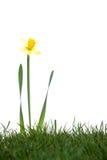Daffodils in the studio Stock Photos
