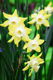Daffodils. A stunning variety of Daffodil grown in the spring and cut for beautiful displays indoors Stock Images