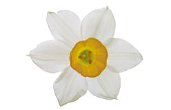 Daffodils su bianco Immagini Stock Libere da Diritti