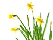 Daffodils su bianco Fotografia Stock