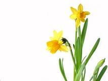 Daffodils su bianco Fotografia Stock Libera da Diritti