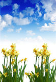 Daffodils in sunny day Stock Images