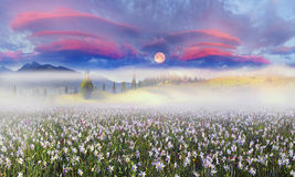 Daffodils at sunrise Stock Photo