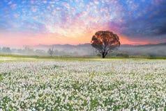 Daffodils at sunrise Royalty Free Stock Photos