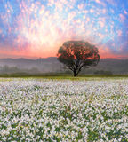 Daffodils at sunrise Royalty Free Stock Images