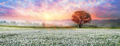 Daffodils at sunrise Royalty Free Stock Photography