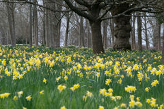 Daffodils in surrey hills and gardens. Spring has arrived and so have the daffodils as they brighten the surrey country side with their brilliant yellow Royalty Free Stock Photo