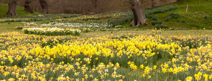 Daffodils surround trees in rural setting Stock Image