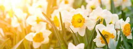 Daffodils Sztandaru pojęcie Fotografia Stock