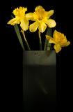 Daffodils in tall vase Stock Photos