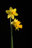 Daffodils. Three daffodils on a black background, back and front lit Royalty Free Stock Photo