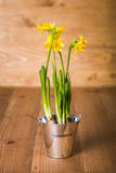 Daffodils in tin pot Stock Image