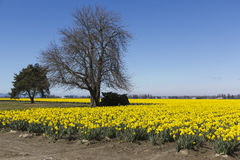Daffodils and trees. A field of yellow daffodils and trees with blue sky and little clouds Royalty Free Stock Images