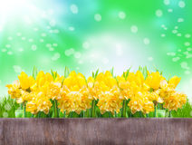 Daffodils, tulips, Bokeh Stock Photography