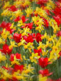 Daffodils and tulips Stock Images