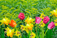 Daffodils and tulips Royalty Free Stock Photo