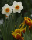 Daffodils and Tulips Royalty Free Stock Image