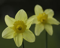 Daffodils. Two daffodils, in a meadow, summer royalty free stock photography