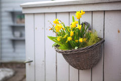 Daffodils in un POT su una parete Fotografie Stock Libere da Diritti