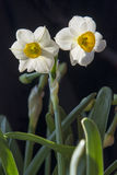 Daffodils under black background Royalty Free Stock Photography