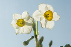 Daffodils under the sun Royalty Free Stock Image