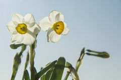 Daffodils under the sun Royalty Free Stock Images
