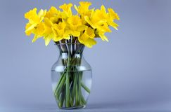 Daffodils in a vase. Daffodil flowers in the glass vase with water Royalty Free Stock Photography
