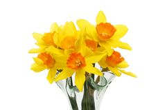 Daffodils in a vase closeup. Closeup of daffodila in a glass vase isolated against white stock image