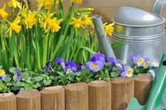 Springtime flowers in flowerbed with watering can. Daffodils and viola in a flowerbed with watering can Royalty Free Stock Image
