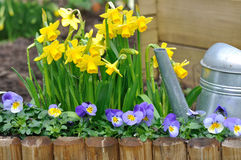 Daffodils and viola in garden. Daffodils and viola bordering with watering can in a garden Stock Photo
