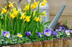Daffodils and viola in garden. Daffodils and viola bordering with watering can in a garden Royalty Free Stock Photography