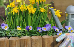 Daffodils and violas. Daffodils and viola bordering with watering can in  and gloves a garden Royalty Free Stock Photo