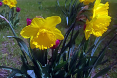 Daffodils w świetle słonecznym Obraz Royalty Free
