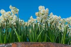 Daffodils w garnku Fotografia Stock