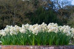 Daffodils w garnku Zdjęcie Royalty Free