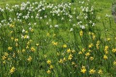 Daffodils w Hyde Hall ogródach obraz stock