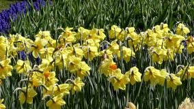 Daffodils w kwiatu parku Zamyka w górę strzału zbiory wideo