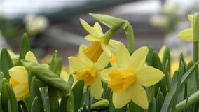 Daffodils w kwiatu parku Zamyka w górę strzału zdjęcie wideo