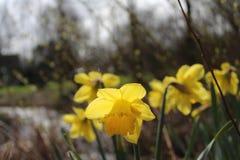 Daffodils W naturze Fotografia Royalty Free