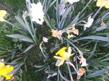 Daffodils w polu oprócz drogi Obrazy Royalty Free