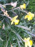 Daffodils w polu po Easter Zdjęcia Royalty Free