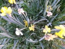Daffodils w polu po Easter Obraz Stock