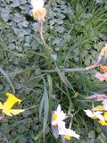 Daffodils w polu po Easter Fotografia Royalty Free
