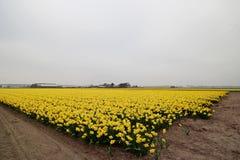 Daffodils w polu w terenie Lisse blisko do Keukenhof Zdjęcia Royalty Free